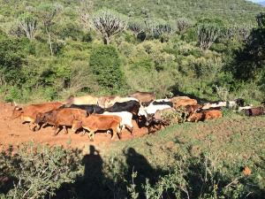 Herd of Cows being led by a Masai Warrior