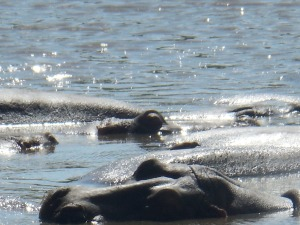 Hippos Sun Bathing. Imagine Sleeping a few feet from this