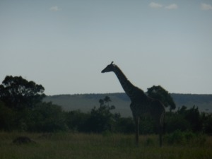 Giraffe on the other bank of the Mara River