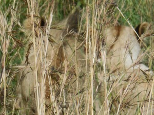 Lions camouflaged by savanna Grass